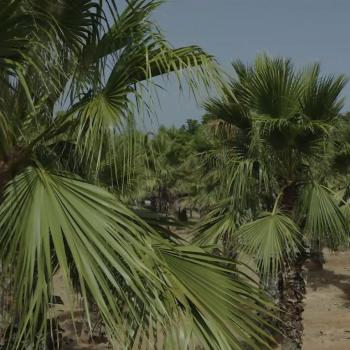 Palm Trees (בינוני)